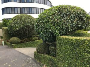 hedge_trimming_vic_ave_remuera
